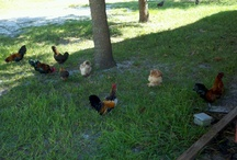 Chickens and Roosters / by Brooke Bundy