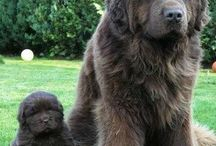Newfies et al: dogs & breeds / by Anna Ryan