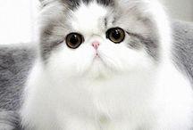koty perskie