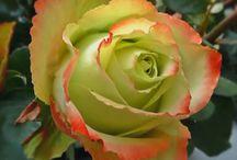 Rózsák / Roses / virág