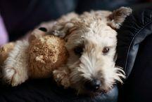 Wheaten Terriers <3 / by Andrea Dawn