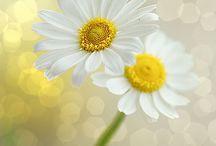 lindas flores (Antonia)