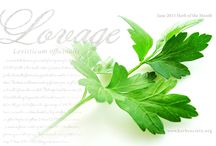 Lovage / by Herb Society of America