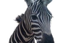 Zebra Shoulder Mount.