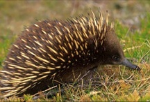 Monotremes - Egg laying mammals / Egg laying mammals - there are only two groups! the Platypus and four species of Echidna all found on the Australian continent.