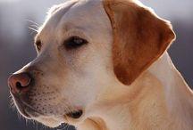 Beautiful Labradors