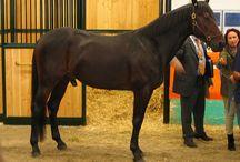 Varenne  il cavallo....la leggenda vivente / IL Mitico Cavallo da Trotto che ha conquistato tutto.....