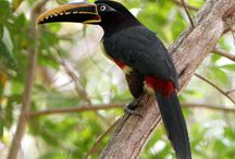 Northern Ecuador: Birding the Andes to the Amazon / Because of its diverse habitat array, ranging from the high Andes to excellent lowland rainforest, north-western South America has the highest avian diversity in the world. Ecuador is fortuitously situated within the heart of this fantastic ecological region, boasting a bird list of over 1700 species! Furthermore, its small size, good infrastructure, unsurpassable scenery and friendly people make Ecuador one of the planet's most delightful birding destinations