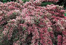 Gardening-Deciduous Shrubs