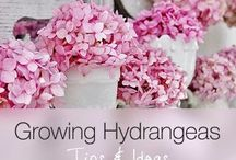 Tips & Ideas for Growing Hydranges