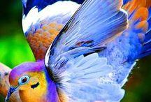 kauniit linnut