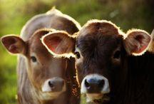 Lehmät (Cows)