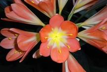 Le clivie / piante e fiori