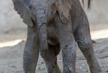 Elefantes / Animal