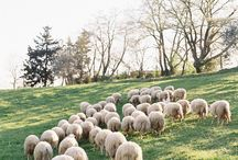 Sheep Farming / Raising sheep on local family farms.  It's not just wool.  It's a way of life.