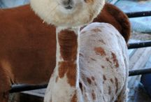 Animals and Livestock Shows