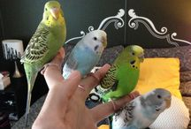BUDGIE LOVE + other birds