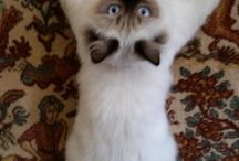 NEVA MASQUERADE SIBERIAN / My international cattery VISTULA*PL  Kittens available! :)