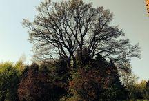My oaktree