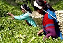 Nepal Tea Farms / by International Tea Farms Alliance