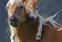 Haflinger and more...♡