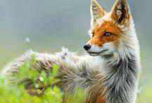 Canidae - cão, lobo, raposa, chacal e coiote / Os canídeos têm uma cauda longa e dentes molares adaptados para esmagar ossos. Têm quatro ou cinco dedos nas patas dianteiras, quatro nas patas traseiras, e garras não retrácteis adaptadas para tracção em corrida. O tamanho é variável, bem como os hábitos sociais que podem ser gregários, como o lobo e o cachorro-vinagre, ou solitários como os coiotes e raposas. Os sentidos da audição e olfato são mais importantes que a visão. .