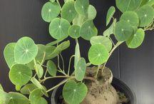 rośliny caudex