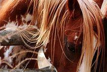 Cavalos Amo