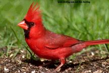 Cardinal Birds / by Judy Bennett-Johnson
