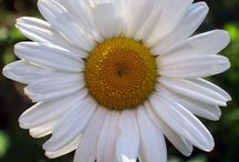 Girl Scout Daisies