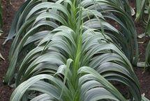 Выращиваем лук-порей