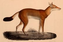 Ethiopian Wolf / News, Information and status of the Ethiopian Wolf