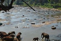 Pinnawala - sloní sirotinec, Srí Lanka / Sloní sirotinec v Pinnawale na Srí Lanke je turistickou atrakciou. Autorkou fotografií je Maťka, ďakujeme,  www.Zaujimavosti.net
