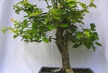 Bonsai Malus / Alma bonsai