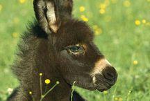 Family Equidae. / Horses, Donkeys, Zebras.