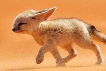 RED FOXES | FENNEC FOXES