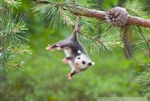 O Possum