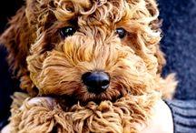 Barboncino e Barboncino Nano / Allegro e molto estroverso questo amico riccioluto è dolce e si adatta ad ogni situazione. Fedele al padrone è anche un cane da caccia e un gran nuotatore!