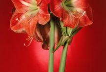Amaryllis grow from seeds