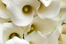 Calla Lily Facts / Everything you could possibly want to know about Calla Lilies!