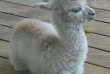 alpacas / I love them and I want one
