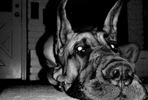 Great Danes / by Taby Katt