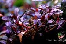 Aquarium:- Bucephalandra's / A collection of photos of  bucephalandra's