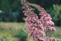PDN 2015 Fall Pink Flowering Plants / We love these pink flowers for their brightness as the Fall days shorten. Try them in your garden!