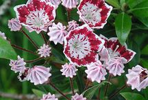 Kalmia - Icing Sugar Flower