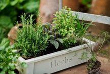 Gyógy- és fűszernövények / Gyógy- és fűszernövények http://balkonada.cafeblog.hu/kategoria/balkon/balkonkerteszkedes/fuszer-es-zoldsegnovenyek/
