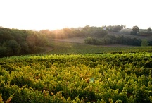 Vineyards and grapes...our jewels.. / Vineyards in Gambellara and Colli Berici.. How beautiful they are!