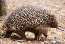 Uniue Australian animals