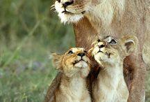 LIONS LIONNES LIONCEAUX TIGRES PANTHÈRE
