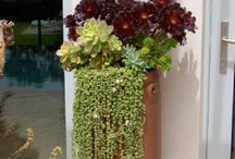 Succulents / Succulents in the garden or containers